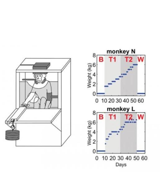 Avec le lever de poids, la signalisation nerveuse est renforcée chez les singes N et L (Schéma Glover and Baker, JNeurosci 2020)