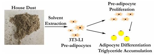 Les cellules pré-adipocytes exposées à la poussière croissent et se divisent plus rapidement en cellules adipeuses