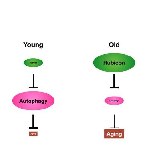 La suppression de Rubicon dans des organismes modèles entraîne une réduction du déclin moteur associé à l'âge