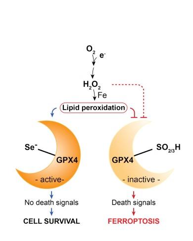 le sélénium est un facteur essentiel pour le développement postnatal d'un type spécifique d'interneurones