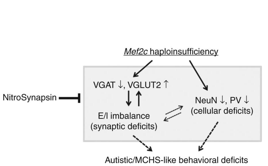 Les souris modèles de MHS traintées pendant 3 mois par NitroSynapsin présentent une réduction de ce déséquilibre excitateur/inhibiteur