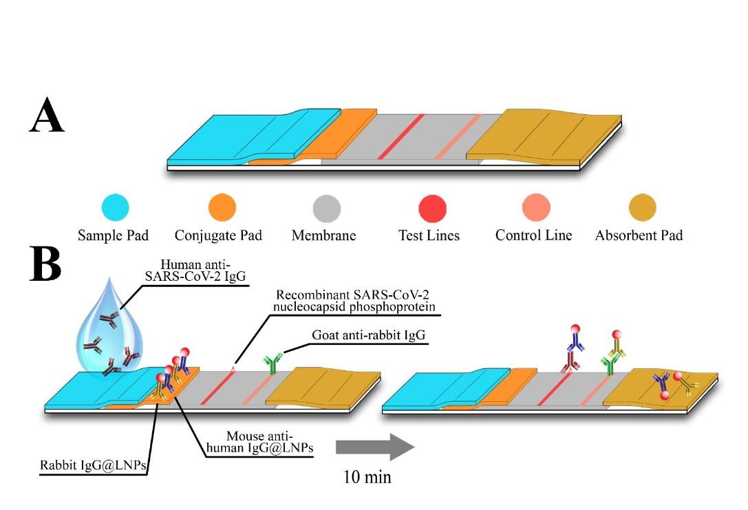 Une protéine d'enveloppe virale est attachée sur une zone d'une bande de nitrocellulose. Le sérum humain s'écoule d'une extrémité de la bandelette à l'autre, et tous les anticorps dirigés contre la protéine virale se lient à cette zone sur la bandelette