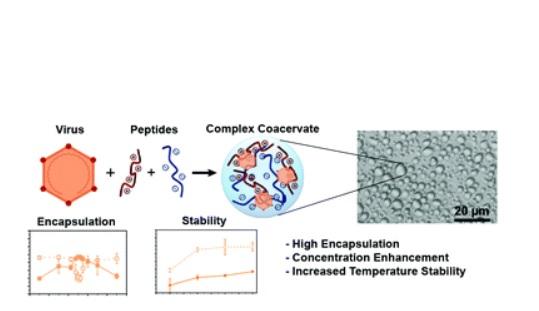Ces protéines synthétiques qui ont des charges positives ou négatives, chargés et mis en solution, se collent ensemble et forment une phase liquide séparée, un processus appelé coacervation complexe.