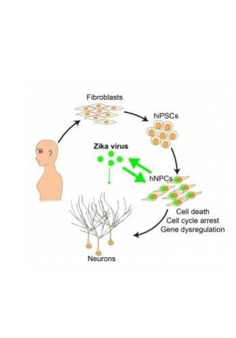 Le virus infecte sélectivement les cellules qui forment le cortex du cerveau