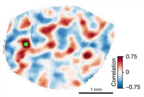 Des connexions locales créent un échafaudage pour une activité réseau plus étendue dans le cortex : l'activité médiée par les connexions locales guide en quelque sorte la formation ultérieure de connexions de réseau à longue portée.