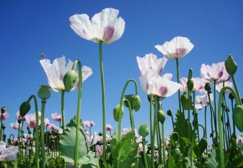 En décryptant à plus de 70% le code ADN du génome du pavot à opium , ces scientifiques apportent une véritable feuille de route pour le développement de nouveaux composés pharmaceutiques pour le soulagement de la douleur