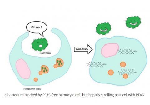Ici, l'exposition aux PFAS supprime la fonction immunitaire jusqu'à 50% de la performance normale