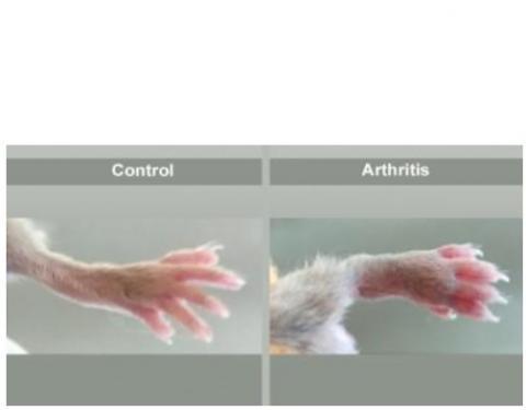 Cette molécule démontre ici son efficacité thérapeutique chez des souris atteintes d'arthrite génétiquement induite  (Visuel  N.H. Napimoga)