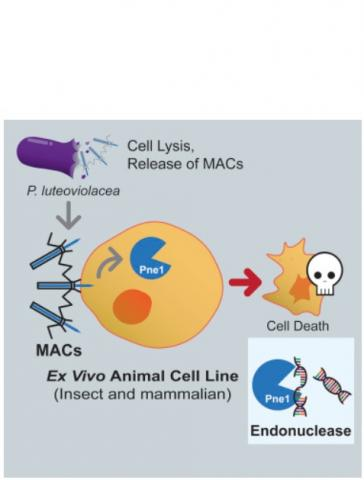 Les MAC (Metamorphosis Associated Contractile structure) ciblent des cellules eucaryotes