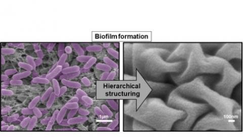 La pellicule bloque la formation de biofilms de Staphylococcus aureus résistant à la méticilline (MRSA) et de Pseudomonas aeruginosa