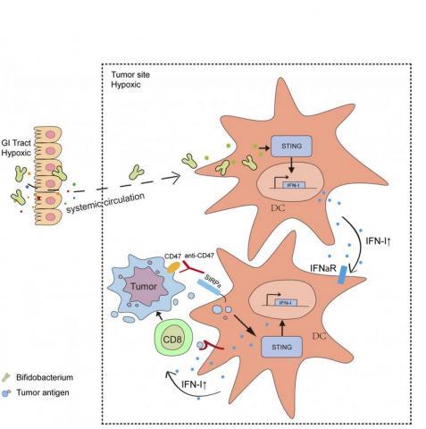Voies de signalisation immunitaire activées par les bifidobactéries après leur migration dans les tumeurs du tractus gastro-intestinal