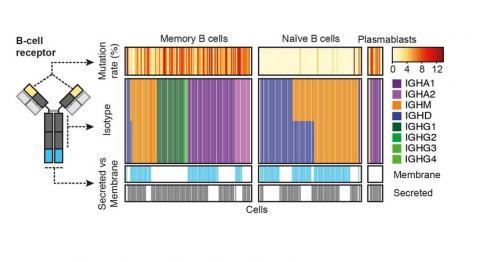 Ce système détecte les cellules immunitaires rares qui répondent au cancer en révélant les « codes-barres » de l'ARN de leurs récepteurs