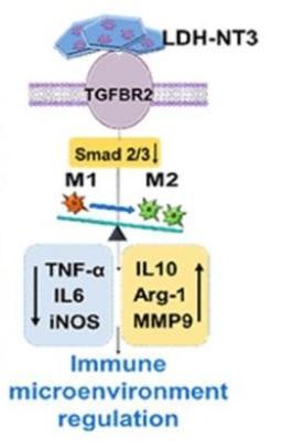 Ce nouveau nanobiomatériau stimule la croissance neuronale chez la souris (Visuel Liming Cheng, Rongrong Zhu, Département d'orthopédie, Hôpital Tongji- Université de Tongji)