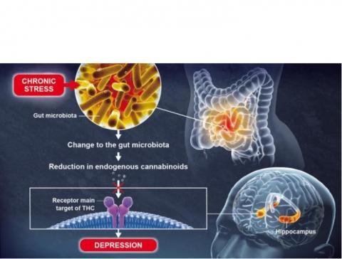 Le microbiote intestinal joue un rôle clé dans la fonction cérébrale et la régulation de l'humeur (Illustration Institut Pasteur / Pascal Marseaud)