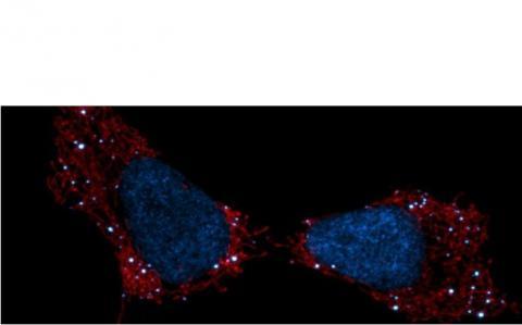 L'ADN mitochondrial est en blanc sur le visuel