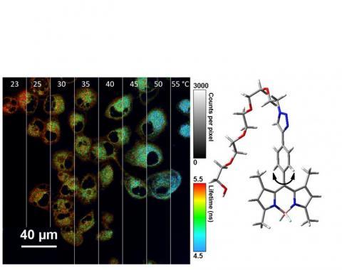 Ces molécules, appelées « Bodipy » sont modifiées pour répondre par fluorescence à la température