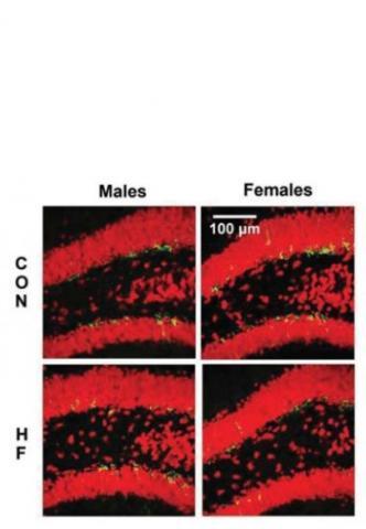 Cependant il reste à mieux comprendre cet effet sexospécifique de l'excès de graisse sur le cerveau.