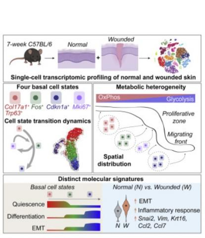 Ces 4 états de transcription diffèrent par leurs préférences métaboliques et suivent un modèle «hiérarchique» lors du processus de ré-épithélialisation de la plaie