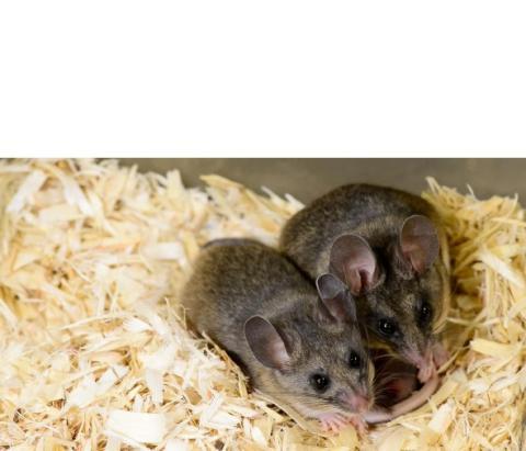 La souris est un bon modèle d'étude des comportements parentaux