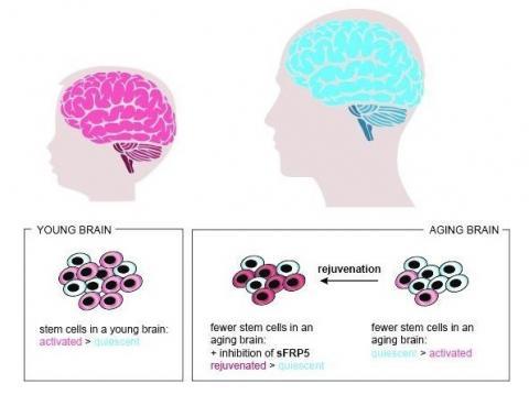 En neutralisant l'action de sFRP5, les cellules souches quiescentes ont effectivement commencé à proliférer plus activement, devenant à nouveau disponibles pour les processus de régénération dans le cerveau vieillissant.