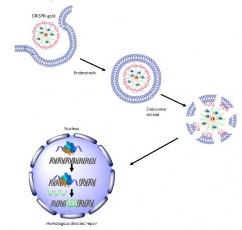 Il sera possible, dans l'avenir, de développer des agents thérapeutiques CRISPR non-viraux capables de corriger en toute sécurité les mutations génétiques