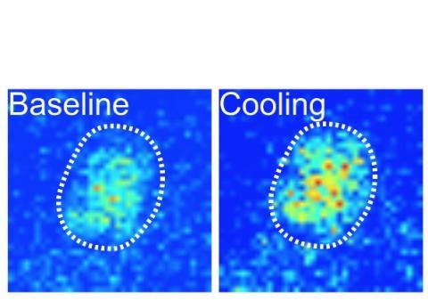 lorsque la température ambiante refroidit, une zone de l'horloge circadienne du cerveau des mouches appelée DN1p augmente son activité