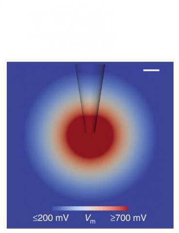 L'outil permet de tracer jusqu'à 100% des cellules d'un microcircuit cérébral