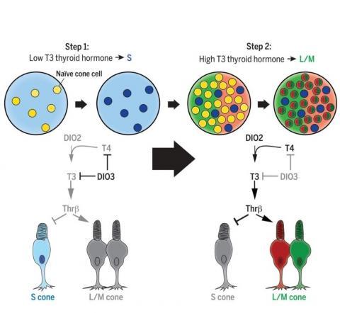 La quantité d'hormones thyroïdiennes dicte donc la vision des couleurs et détermine si les cellules photoréceptrices sont sensibles au bleu, au rouge ou au vert.