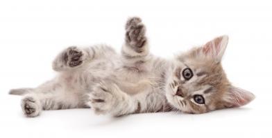 Une nouvelle molécule améliore la tolérance immunitaire aux principaux allergènes du chat (Adobe Stock 276958878)