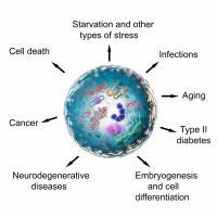 Les cellules quiescentes peuvent être réveillées si besoin, en réponse à un déclencheur, comme une plaie, par exemple, mais au grand âge elles peuvent aussi tomber dans le coma