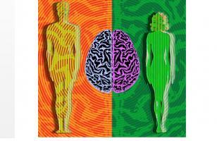 La découverte de cette  voie génétique déterminante sur le déclenchement de la puberté ainsi que sur ces différences de cerveau entre hommes et femmes apporte de nouvelles preuves d'effets génétiques directs sur les différences, selon le sexe, de développement neuronal