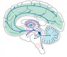 Le LC n'a pas seulement un rôle d'alarme, tel que déjà documenté, mais a un impact plus nuancé et multiforme sur l'apprentissage, le comportement et la santé mentale (Visuel Sur Lab/ MIT Picower Institute).