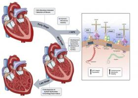 Une protéine, le sarcospan, pouvait contribuer à stabiliser les membranes des cellules cardiaques, qui deviennent fragiles chez les patients atteints de dystrophie musculaire de Duchenne.