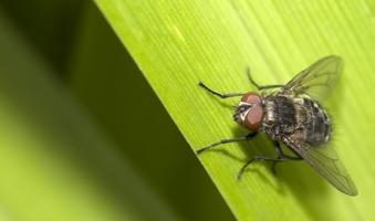Cette maladie parasitaire (Trypanosoma brucei) transmise par la mouche tsé-tsé n'avait jusque-là jamais été associée à un trouble de l'horloge biologique ou du rythme circadien.