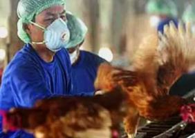 Au moins un événement de contagion humaine a été recensé en Russie, où un cluster de 7 travailleurs en élevage avicole ont été testés positifs pour le virus H5N8 (FAO et Wetlands International)