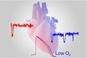 De faibles niveaux d'oxygène dans le cœur sont un facteur connu d'arythmies pouvant être mortelles.