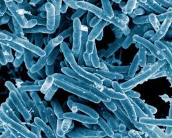 Mycobacterium tuberculosis, la bactérie responsable de la tuberculose (Visuel NIAID)
