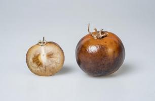 Extraire 150 mg de L-DOPA par kg de tomates c'est possible (Visuel Phil Robinson)