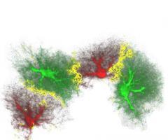 Les astrocytes, ces cellules en forme d'étoile du cerveau, jouent un rôle de tout premier plan dans la mémoire à long terme