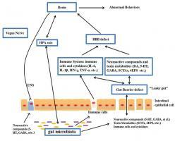 Cibler à nouveau l'axe intestin – cerveau