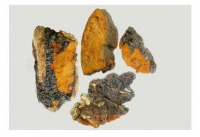 Inonotus obliquus (cf visuel) contient des composés chimiques naturels, extrêmement prometteurs pour la conception de nouveaux médicaments