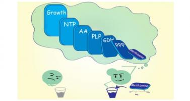 Cet acide aminé essentiel chez l'homme, la méthionine, régule le programme de contrôle de la croissance cellulaire, y compris dans le cancer.