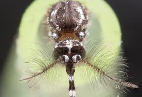 Des appareils auditifs de nouvelle génération pourraient utiliser comme ces insectes,« des poils fins » capables de détecter la vitesse des particules d'air lorsqu'elles sont bousculées par les ondes sonores et de les traduire en données sonores.
