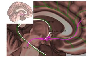 C'est un nouveau « nœud » de l'éveil qui vient d'être localisé, par cette équipe de l'Emory University, dans le cerveau et précisément dans la zone du noyau supramammillaire (SUM), situé dans l'hypothalamus.