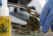 Le cannabidiol (CBD), l'un des 2 principaux cannabinoïdes du cannabis, n'entraîne, au contraire du THC (delta-9-tétrahydrocannabinol) aucun effet psychoactif.