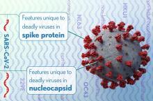 La protéine de pointe du SRAS-CoV-2 peut agir comme un « superantigène », poussant le système immunitaire à se suractiver, comme en cas de choc toxique (Visuel NIH)